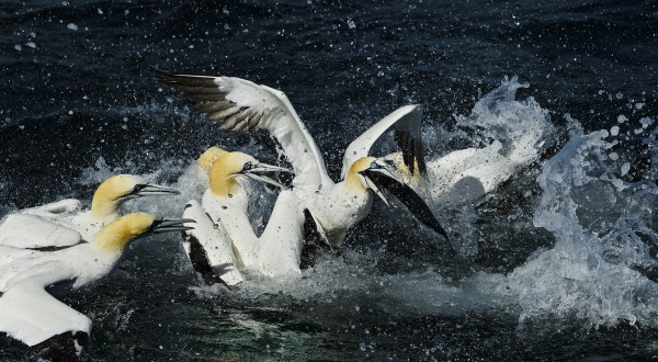 Gannets Shetland Ss706589707 David Havel 72