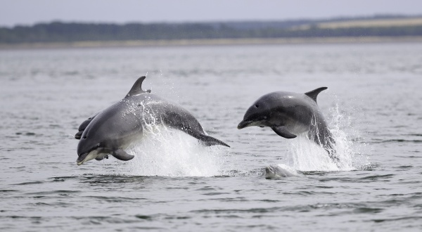 Dolphins Ss758233576 Chanonry 72